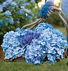 French hydrangeas prefer morning sun with light afternoon shade. Acid soil produces the bluest blues, while Alkaline soil turns blossoms pink. myhomeideas.com