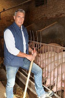 raising pigs for meat, small pig, rais pig, pig farm, meat pigs, meat farm, pig raising, pig feed, hog farming
