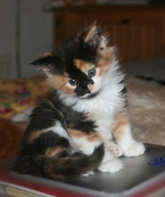 Calico kitten...want!