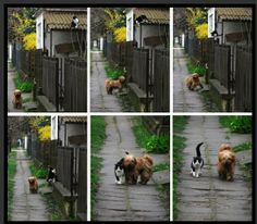 Every day at the same time she waits for him. Sometimes she barks to call him. He comes; they rub and greet each other and they go for a walk. They have done this for 5 years and no, they don't belong to the same owners. The owners didn't know until neighbors seeing them together so frequently commented to the cat's owner, who then followed the dog home which was a distance away - not in a house close or next door. How it started no one knows.