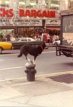 Dog on a fire hydrant, New York City (1982)