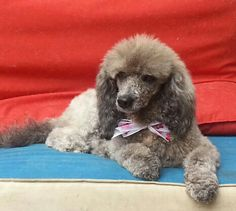 Meet Fiona a Petfinder adoptable Poodle Dog | Penngrove, CA | You can fill out an adoption application online on our official website.Fiona is a young (2yr)...