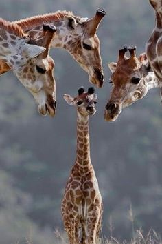 new babies, stand tall, little ones, baby animals, kids, africa, families, the block, giraffes