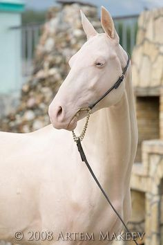 Ghisarg (Gyaurs - Hiss) 2006 stallion, line Posman, Akhal-teke