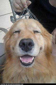 Golden Retriever Dog - A Place to Love Dogs