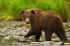 Photo Cute Grizzly Cub! by Stephen Oachs on 500px