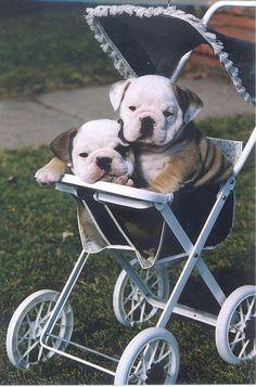 ❤ to those who love bulldogs <3 #english #bulldog #puppies #dogs #pets #animals