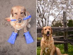An Absolutely Cute Labrador Model with Chelsea Tyrer | It's a Lab Thing