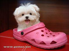 maltes puppi, anim, little puppies, maltese dogs, maltese puppies, cutest dogs, pink, baby dogs, croc