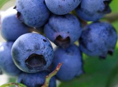 """Blueberries are a """"super      fruit"""" due to its antioxidant properties which help those with      against diabetes. Take a look at more benefits of the blueberry      plus a smoothie recipe."""