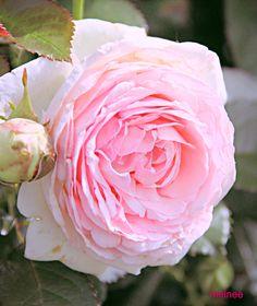 Old English rose. David Austin roses. Photo by Melnee