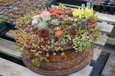 I've been thinking about using succulents - this Succulents in a Rusty Rim idea is great!