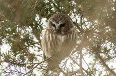Fall Banding of Saw-whet Owls has Begun. birdsandblooms.com