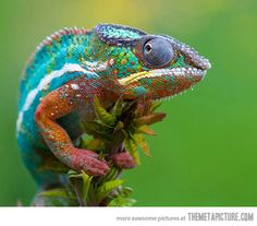 lizard, chameleons, picture quotes, animal photography, weight loss, spring colors, pet, rainbow, color trends