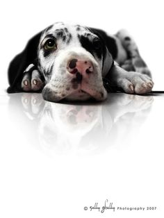 Great Dane  <3