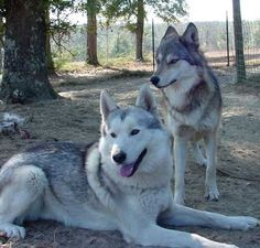 Dog + Wolf = Wolf Dog