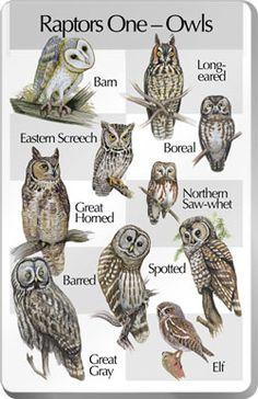owls bird, types of owls, whooo, anim, feather friend, thing owl, owl chart, raptor, hoot