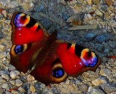 ~~ European peacock butterfly ~~