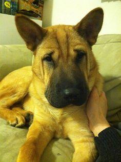 Meet Hunneem! My 7 month old German Shepherd Shar pei mix, hes quite unique ;)