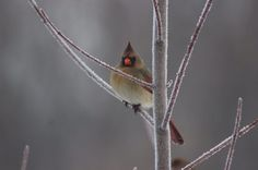 Female Cardinal femal cardin