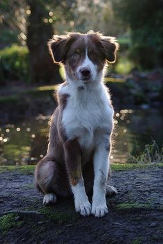 Australian Shepherd Puppy Dog