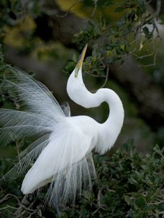 Great Egret Exhibiting Sky Pointing