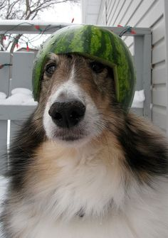 Shelties in Riderville