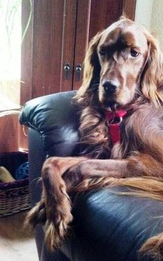 Typical Irish setter pose...on the couch with it's paws crossed.  Aww!