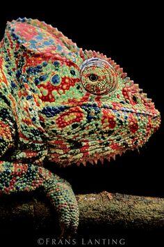 Oustalet's chameleon, Furcifer oustaleti, Madagascar