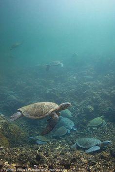 Cool so many turtles in on place.. Galapagos Green sea turtle, Isabella Island, Galapagos Islands, Ecuador.