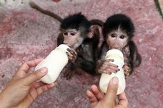 A zookeeper feeds baby Hamadryas baboons milk at a zoo in Hangzhou, Zhejiang province September 17, 2014. (Photo by Reuters/China Daily)