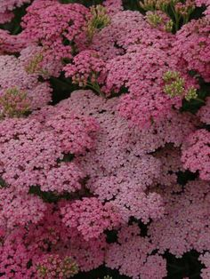 "Perennials - Achillea ""Little Susie"" // Great Gardens & Ideas"