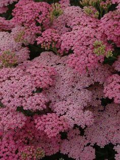 """Perennials - Achillea """"Little Susie"""" // Great Gardens & Ideas"""