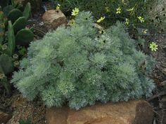 """Artemisia """"silver mound"""""""