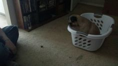 Zooey couldn't figure out how to get out to get the treats. Stupid laundry baskets!