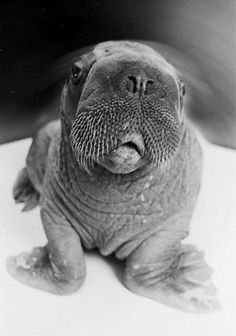 ET the walrus @ the Point Defiance Zoo.