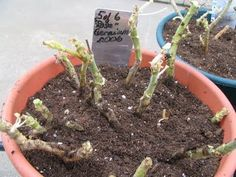 How to over-winter geraniums.