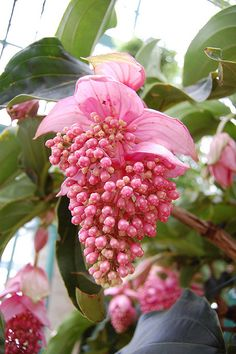 Medinilla magnifica ~*I just bought one.  Very beautiful plant.