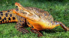 animals, park, crocodiles, color, australia, oranges, fan, blue bloods, water filters
