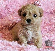 Maltipoo Puppy ♥ More