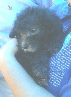Black poodle puppy ... Dog Training Video Portal http://dogtrainingvideos...