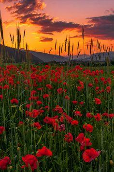 Poppy meadow sunset in Pöls, Styria, Austria. #austria #styria #poels #poppymeadow #visitaustria