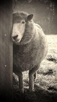 """""""Sheepish"""" by Karena Goldfinch"""