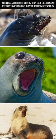 When seals open their mouths, they look like someone just said something that they're horribly offended by.