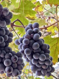 """Growing grapes is not difficult, but there are a few things you must absolutely know in order to succeed. How to prune the vines is, for example, very important. If you are interested in growing your own grapes it is a good idea to have a look at """"The Gomplete Grape Gowing System"""""""