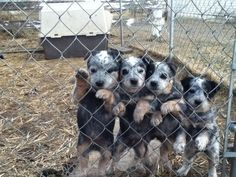 blue heeler puppies :) makes me think of my friend every time I see one! She loves blue heelers