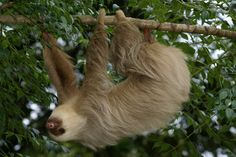 Choloepus sp. - Two-toed Sloth sp.