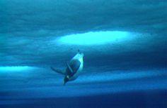 Emperor penguins diving under ice