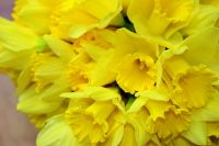 growing tips for Daffodils, and when to move them to new locations.