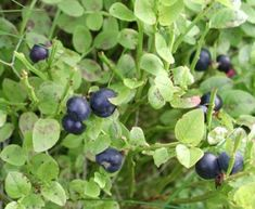 Bilberry - Benefits and Side Effects « Herbs List